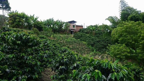 Visit To A Coffee Plantation In Jardin One Of The Best Coffees In